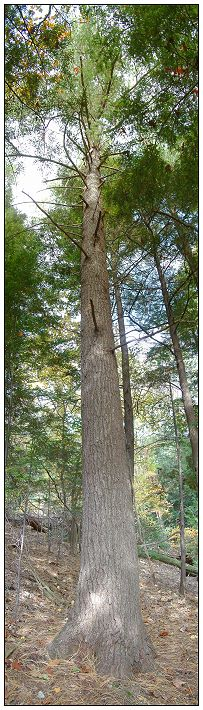 Ancient White Pine Grove